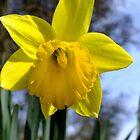 A sunny daffodil by Lorna Taylor