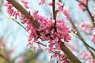 Eastern Redbud by ©Dawne M. Dunton