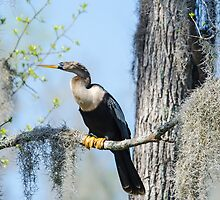 Anhinga Perched with Spanish Moss by imagetj