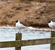 Two Black headed Gulls stood on a fence by Keith Larby
