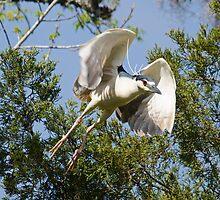 Night Heron in Flight by imagetj