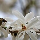 Study in White Star Magnolia by TerrillWelch