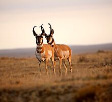 Two male Pronghorn Antelopes in Alberta by pictureguy