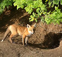 Fox kit by its den in Saskatchewan by pictureguy