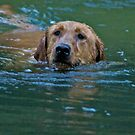 Swimming Labrador Retriever by DaveKoontz