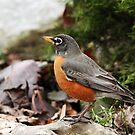 Robins Are Back by Debbie Oppermann