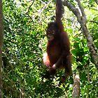 Baby Orangutan by photogart