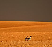 Northern Pintail pair out walking in Saskatchewan field by pictureguy