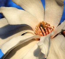 White Saucer Magnolia by Sharon Woerner