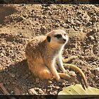 Meerkat by Infinite2000
