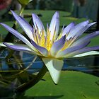 WATER LILLY  by JAMES LEVETT