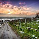 Vineyard at sunset in winter season photo by Mario Cehulic