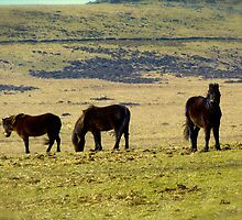 Dartmoor ponies by Shiva77