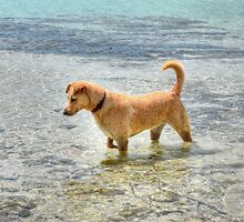 Dog playing in the Caribbean waters at Yamacraw Beach - Nassau, The Bahamas  by 242Digital