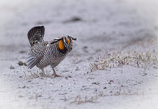 Prairie Chicken 2013-3 by Thomas Young