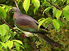 The Kereru in my garden, New Zealand.......! by Roy  Massicks