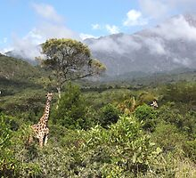 Giraffes in Arusha National Park by CharlotteMorse