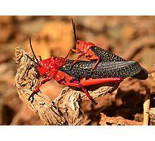 Milkweed Locust (Phymateus morbillosus) Photographic Print
