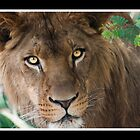 African Lion by KeithBanse