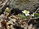 Rue Anemone Wildflower - Thalictrum thalictroides by MotherNature