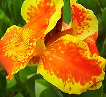 Colorful Cannas by WildestArt