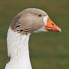 Blue Eyed Goose by GreyFeatherPhot