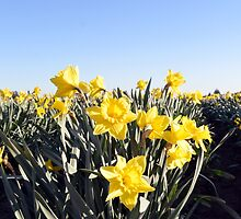 Mt. Vernon Daffodils by Dani LaBerge