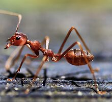 Fire Ant by Kelvin Won