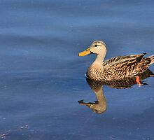 Mottled Duck Reflected by Rosalie Scanlon