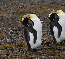 King Penguins in South Georgia by Geoffrey Higges