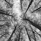 Japanese larch - black & white by Paul Malandain
