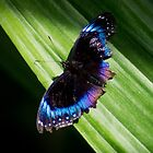Blue Butterfly by Paulscho