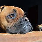 Boxer Dog by SpainBuddy