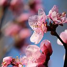 Springtime Peach Blossoms III by karineverhart