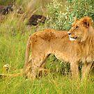 Lion In Jungle Of Masai Mara - Kenya by Charuhas  Images