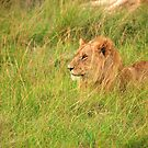 Lion The King by Charuhas  Images