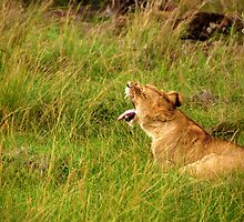 Lion  - Masai Mara by Charuhas  Images