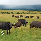 African Buffalo by Charuhas  Images