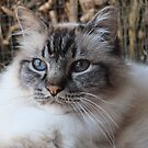 Lord Harrison ~ a seal tabby (lynx) point birman cat by Melissa Stevenson