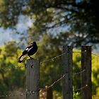 Magpie Morning by pictureit