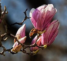 Magnolia by Robert Ullmann