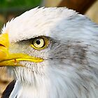 Bald Eagle by Ian Richardson