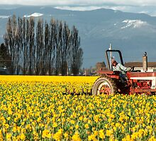 Workin' the Daffodil Fields by Jim Stiles