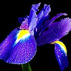 beauty blue iris  by elvira1