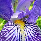 Purple Bearded Iris Monsignor Macro by BluedarkArt