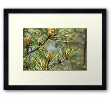 spring in the pine forest 2 Framed Print