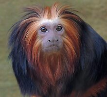 Golden Headed Lion Tamarin 01 by Magic-Moments