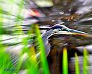 Great Blue Heron by Caleb Ward