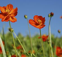 Red Cosmos Flower by taiche