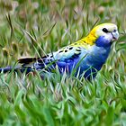 Pale Faced Rosella in Oils by SMCK